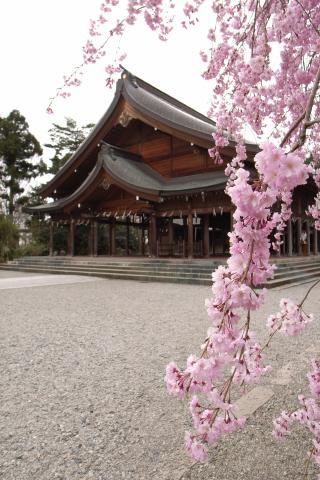 シダレ桜'