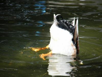 水中に何度ももぐるカモ