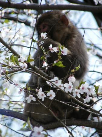 桜の花を食べてました♪