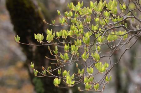 トウゴクミツバツツジの新芽