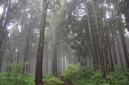霧に包まれた杉並木