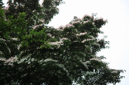 林道に咲いてるヤマボウシ