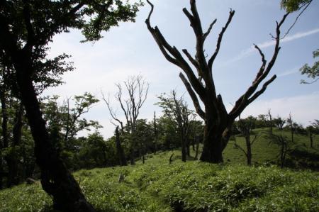 立ち枯れしたブナの木々