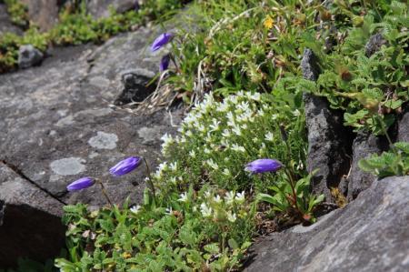 岩場に咲く花たち