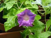 キキョウ咲き200701