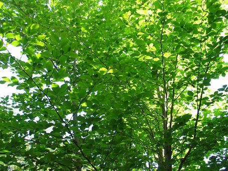 庭のシャラの樹