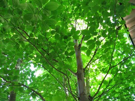 庭のシャラの木 アップ