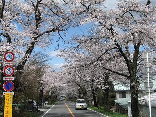 喜連川の桜並木