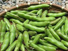 06-09 そら豆収穫