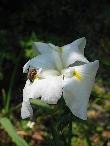 06-26 花菖蒲+蜂