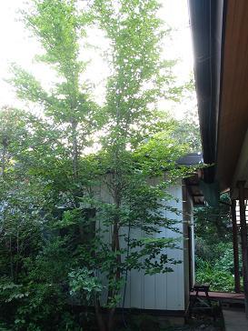 07-01 シャラの樹