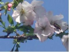 萩の茶の大島桜