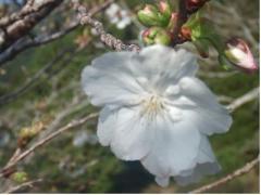 萩の茶の江戸桜