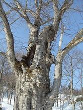 080322 巨木ハルニレ