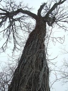 080323カツラの巨木