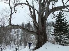080323ミズナラの巨木