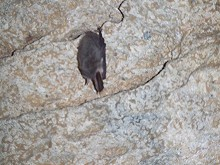 080627ウサギコウモリ