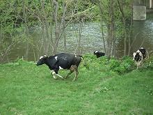 080508焦る牛たち