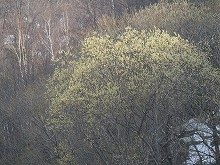 080418バッコヤナギ花