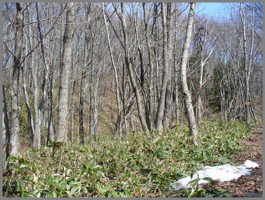 春のミズナラの林