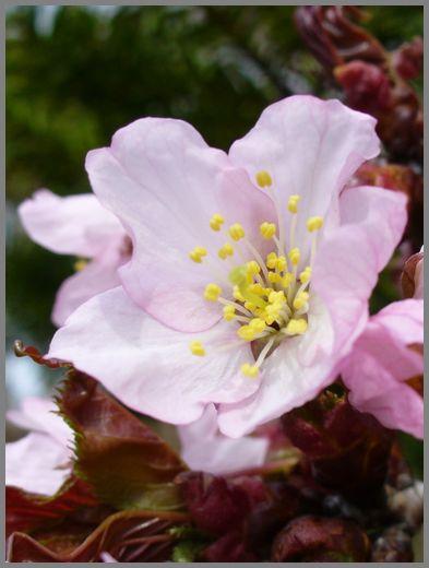 さくらの花3