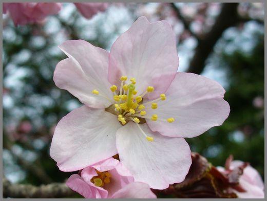さくらの花4