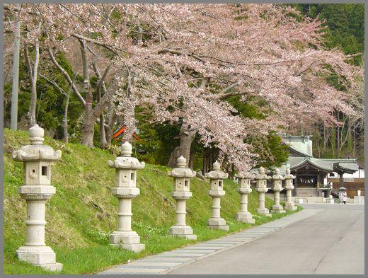 函館八幡宮の桜