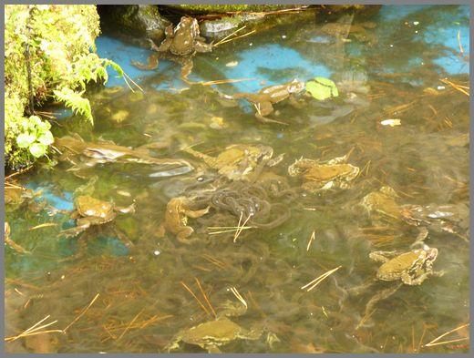 池のエゾヒキガエルたち