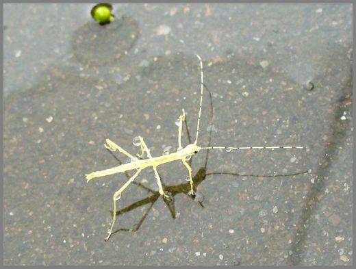 シラキトビナナフシの幼虫1