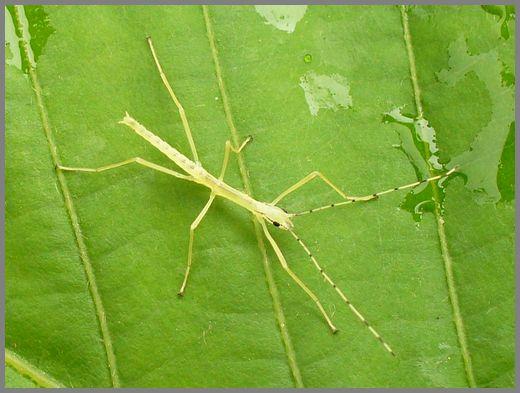 シラキトビナナフシの幼虫3