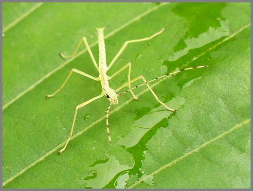 シラキトビナナフシの幼虫5