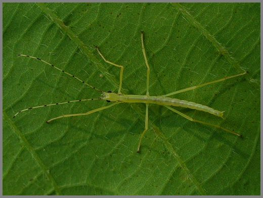シラキトビナナフシの初令幼虫1