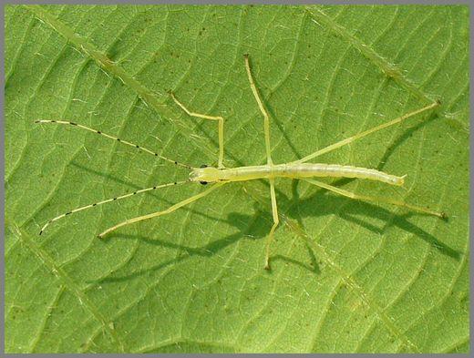 シラキトビナナフシの初令幼虫2