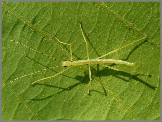 シラキトビナナフシの初令幼虫3