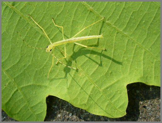 シラキトビナナフシの初令幼虫4