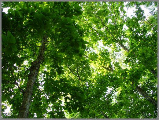 ミズナラの林