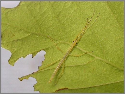 シラキトビナナフシの初令幼虫