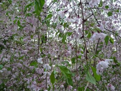 平安しだれ桜