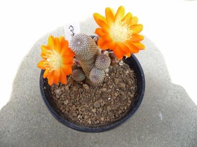 ヘリオーサ開花
