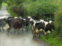 cattleparade