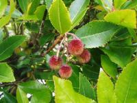 strawberrytree1