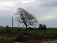 burrentree
