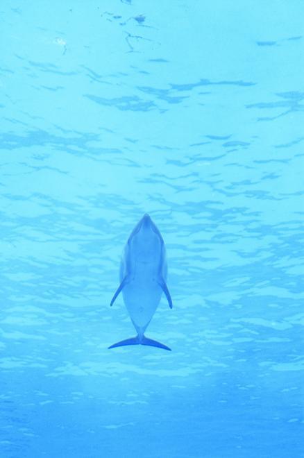 イルカ バンドウイルカ 名古屋港水族館 水 青 流線型