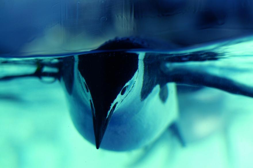 ペンギン ヒゲペンギン 名古屋港水族館 青 水 鳥