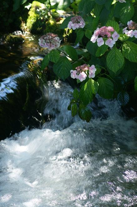 紫陽花 水流 夏 涼しげ