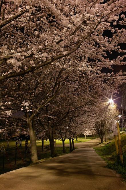 夜桜 DP1 雨池公園 三脚 2008 春 サクラ 桜 遊歩道
