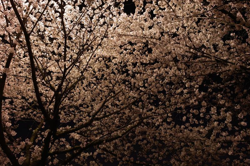 夜桜 DP1 雨池公園 三脚 2008 春 桜 サクラ