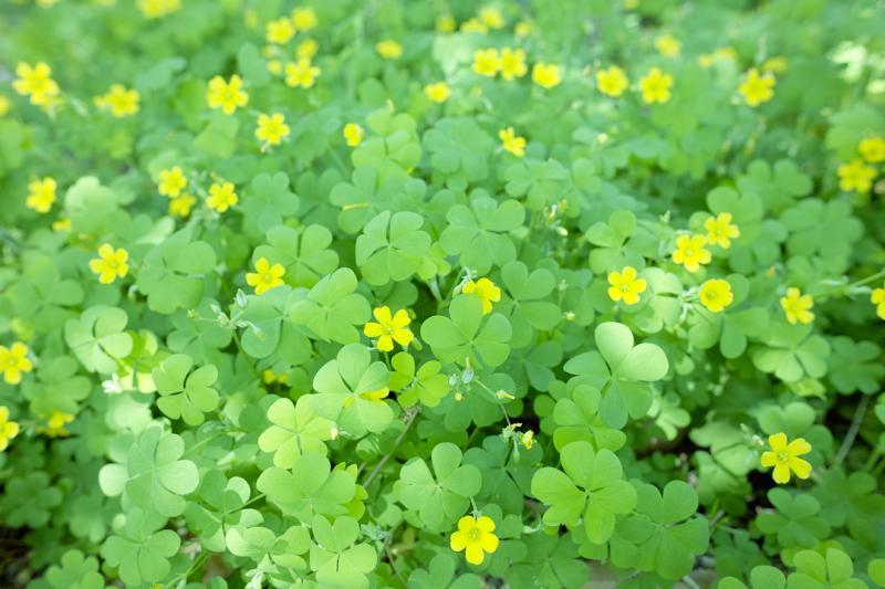カタバミ 黄色 黄緑 ブルーボネット 花言葉 輝く光 ハートが3つ
