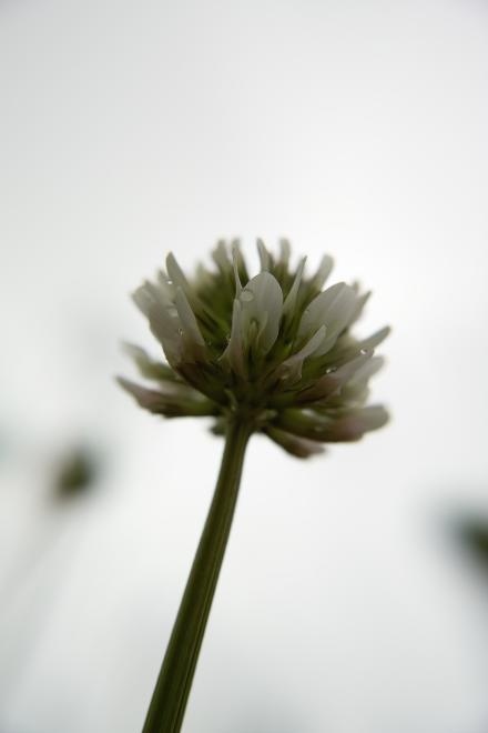 シロツメクサ クローバー 雨 万博記念公園 花言葉 復習 私を思って