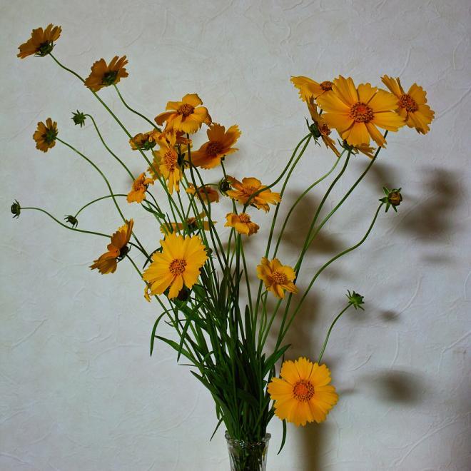オオキンケイギク 帰化植物 花瓶 切花 絵画的